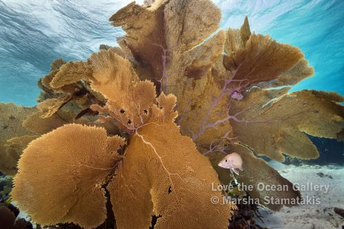 Bonaire Sea Fan